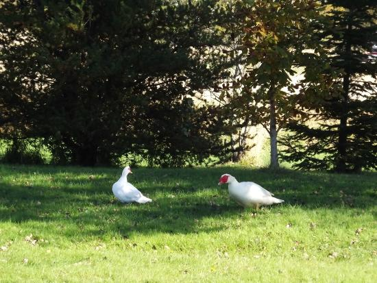 Malden, Canadá: Willow and Jemima, our Muscovy Ducks