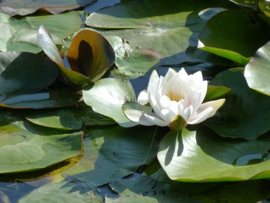 Westbury on Severn, UK: lillies