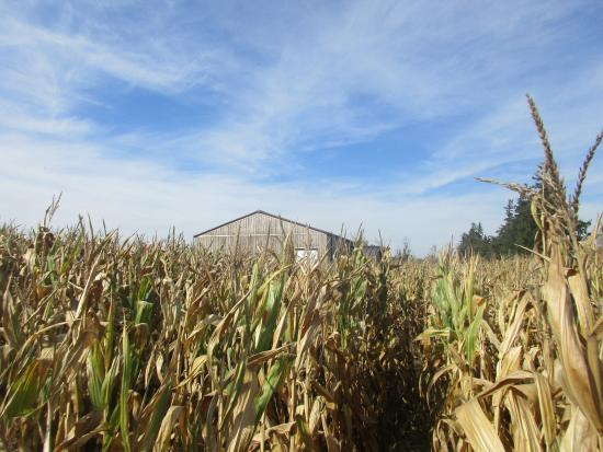 Ayr, Canada : View from inside the corn maze