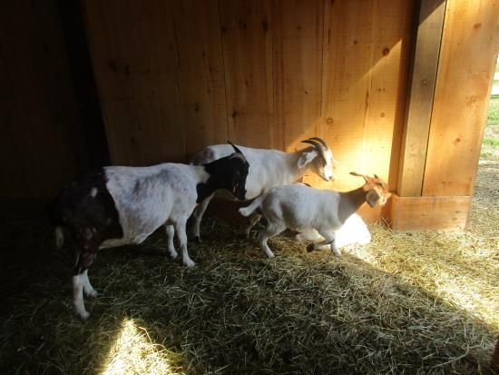 Ayr, Canada : Goats at the petting zoo