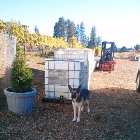 West Kelowna, Canadá: The winery dog at Rollingdale Winery.