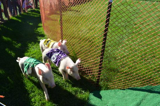 Freddy Hill Farms and Family Fun Center: Pig Race