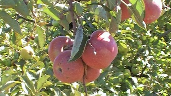 Colts Neck, Nueva Jersey: Stayman Winesap Apples of Eastmont Orchards