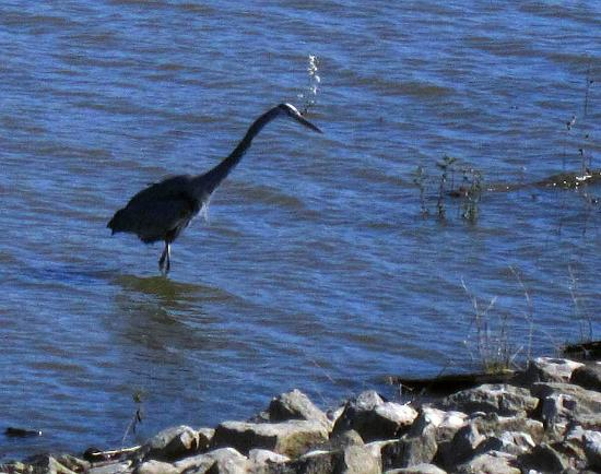 West Alton, MO: A crane fishing near the Audubon Center.