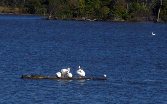 West Alton, MO: Four pelicans, two turtles and a tern share a large log floating near the center.