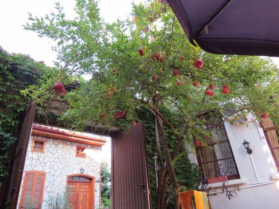Dedekonak Pansiyon: Гранатовое дерево во внутреннем дворике