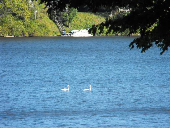 Berrien Springs, ميتشجان: Swans on th lake