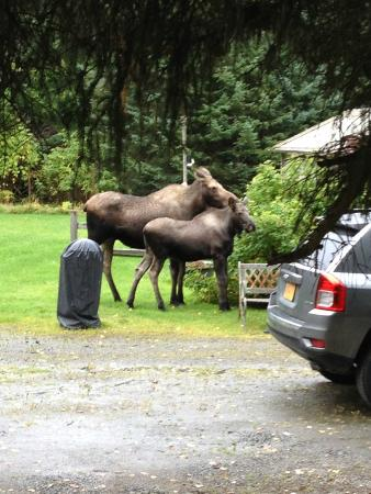 Hoedel's Homestead Cottage: Moose in the yard