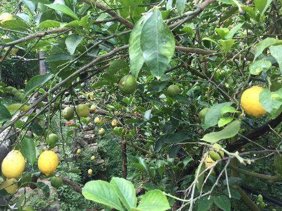 Agriturismo La Lobra: Лимонные сады