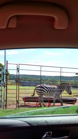 Eagle Rock, MO: Zebra