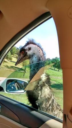 Eagle Rock, MO: Emu
