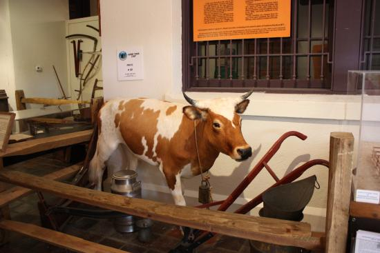 Southwest Florida Museum of History : scrub cattle
