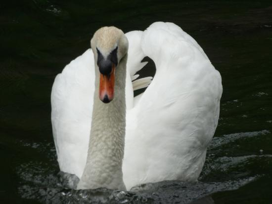 ‪‪Manor Park Country Park‬: swan‬