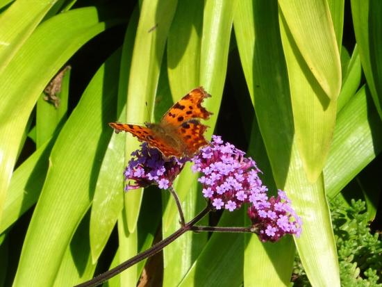 The Garden House: comma butterfly on verbena
