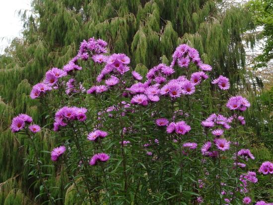The Garden House: michaelmas daisies