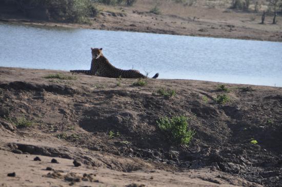 Pungwe Bush Camp: Cheetah bij een waterplaats