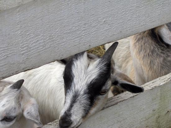 Retreat Farm: Lovely Goats