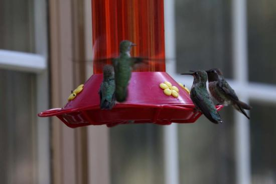 Highland House Bed & Breakfast: Humming birds at Hughland House