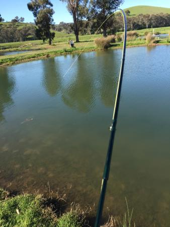Fish on picture of eildon trout farm thornton for Trout farm fishing