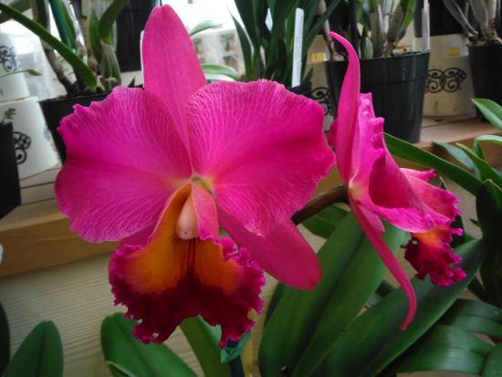 Keaau, Hawái: Orchid Farm