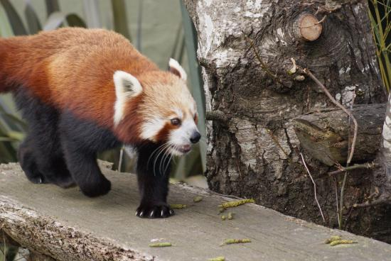 Image result for auckland zoo red panda