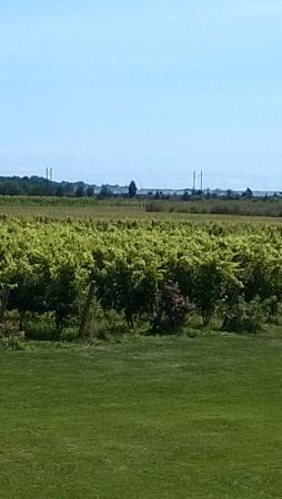 Saltwater Farm Vineyard : more vines