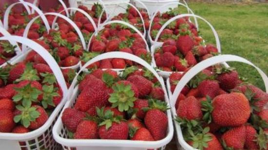 Madison, AL: Strawberries!