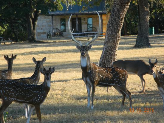 Country Inn U0026 Cottages: Axis Deer