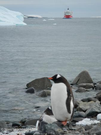 Gentoo penguin posing on Cuverville Island