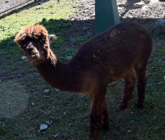 Forsyth Park : A Llama at the Forsyth Nature Center