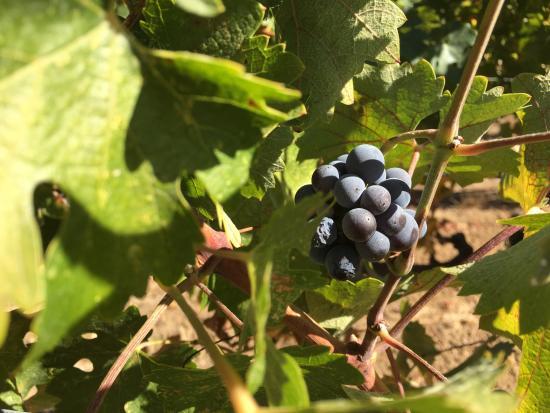 Mazzocco Sonoma: vine outside