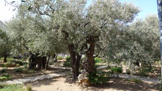 Garden of Olive Trees Picture of Garden of Gethsemane Jerusalem