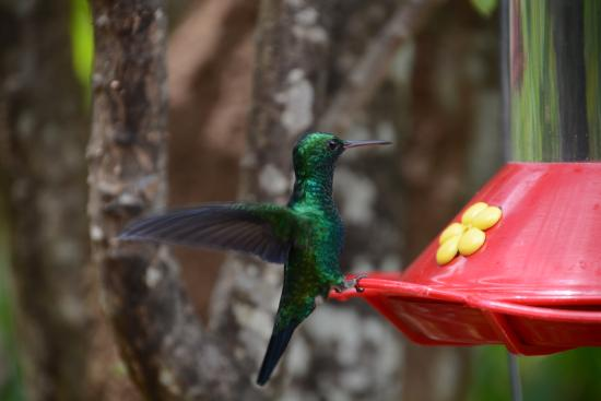 Maracas Bay, Trynidad: Hummingbird at Yerette