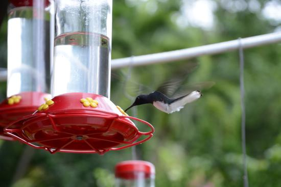 Maracas Bay, Trinidad: Hummingbird at Yerette