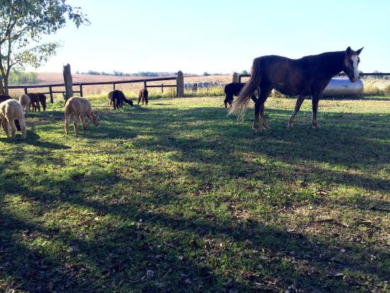 Springfield, KY: Alpacas and rescue horse