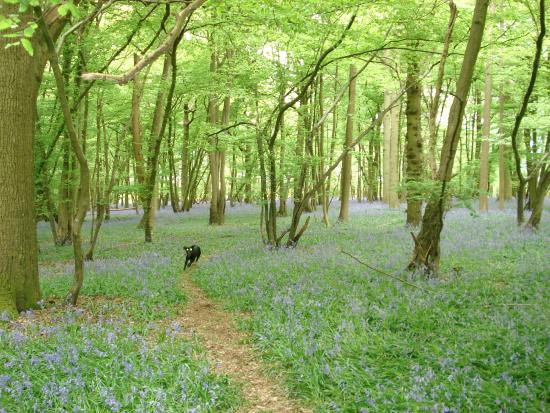 Norwood Hill, UK: Bluebell Wood