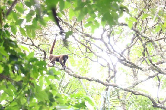 Tapiche Reserve: Spotting monkeys in the canopy