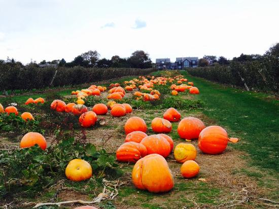 Water Mill, NY: The little pumpkin patch