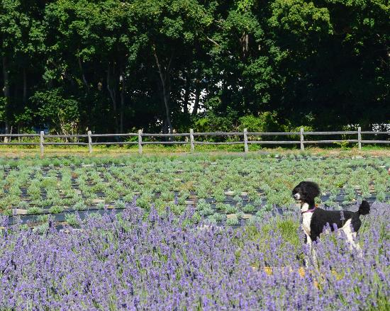 East Marion, estado de Nueva York: My dog at lavender by the bay