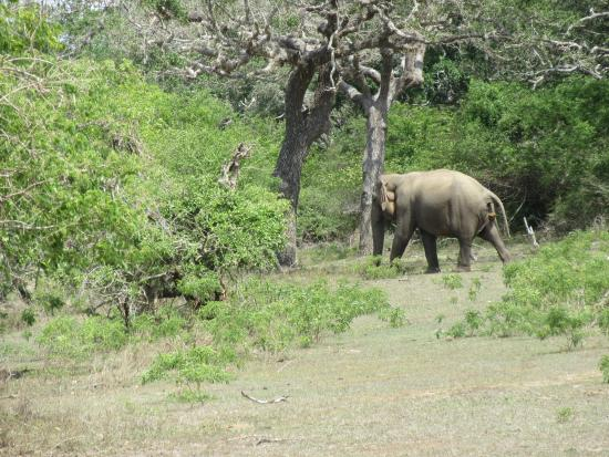 Bentota, Sri Lanka: A lone bull