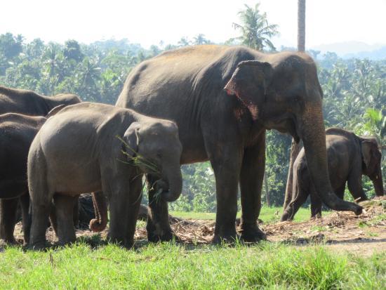 Bentota, Sri Lanka: A great group of rescued elephants.