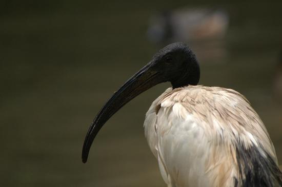 Parc de Cleres : ibis sacré / african sacred ibis