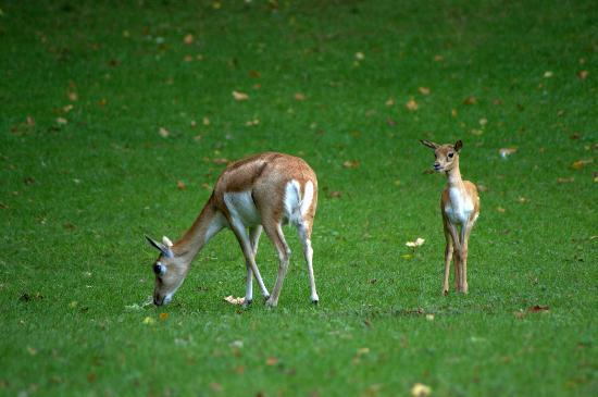 Parc de Cleres : Antilope cervicapre et son petit