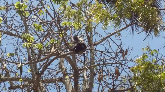 Twiga Lodge: Colobus monkey in the trees at the camp site
