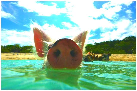 Staniel Cay: Swimming Pig ; - ))