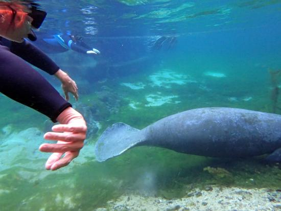 observing the manatee eating if you put your ears under the water