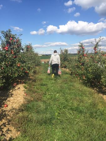 Westminster, MD: Apple Field