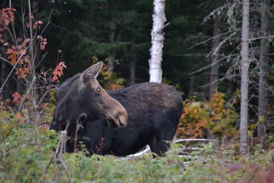 Young's Guide Service: Moose Watching