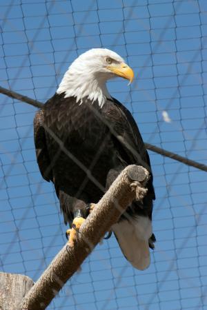 Dubuque, IA: Enclosed bald eagle.