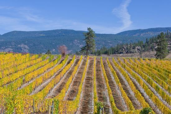 Okanagan Falls, แคนาดา: Wild Goose Vineyards のブドウ園のひとつ